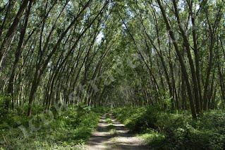 Νέστος, δάσος Κοτζά Ορμάν