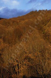Όρος Μπέλες, δάσος Οξιάς