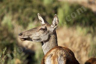 Πάρνηθα, θηλυκό ελάφι
