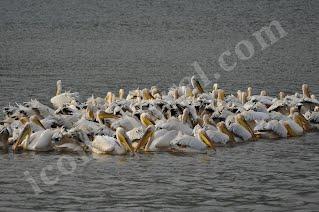 Λίμνη Κερκίνη, ροδοπελεκάνοι ψαρεύουν υπό σχηματισμό