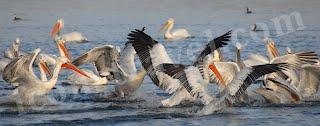 Λίμνη Κερκίνη, κοπάδι αργυροπελεκάνων ψαρεύει
