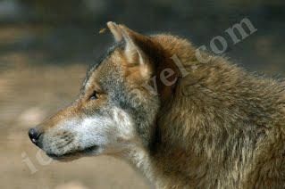 Κόζιακας, λύκος ( μία σφήκα στο αυτί του )