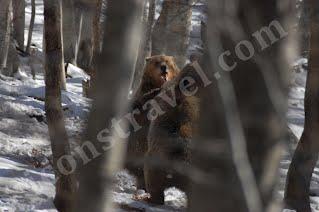 Κεντρική Πίνδος, αρκούδες σε πρωινή συνάντηση