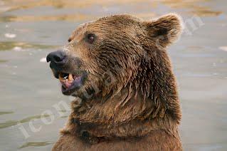 Ζαγόρι, καφέ αρκούδα, αναπάντεχη συνάντηση στη βροχή